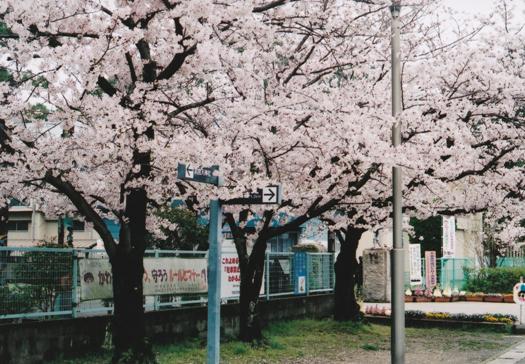 294-23sakura2.jpg