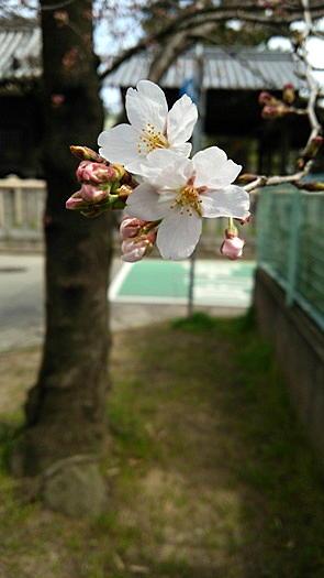 k263-29sakura1.jpg