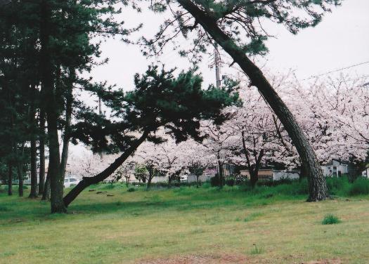 294-21sakura6.jpg